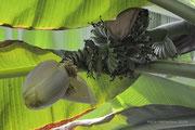 Bananenblüte + Fruchtstand