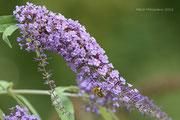 Sommerflieder mit Blütenbesucher