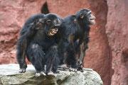 Dongo und Yamou  Schimpansen Männer