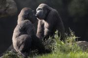 Gorilla Kinder