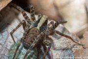 Spinne (Stack aus 8 Einzelbildern)
