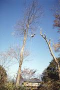 高木は枝を払った後、上から少しずつ切り落とす。右の木の枝を払った後、本来ならいったん下に降りて左の木に移るのだが、省略、ロープで左の木に綱渡り。