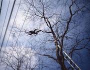 住宅街の桜の木、電線にかかる枝先を払う。梯子も届かぬ枝を伝っての作業。