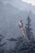 深山境内の樅の木。この木のために誂えたハーケンを打ちながら一歩づつ上る。