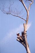 地上約20M。ケヤキの枝をチェーンソーで上から詰めていく。