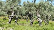 uralte Olivenbäume in Ulcinj