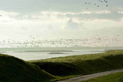 Tausende Nonnengänse ber den Salzwiesen