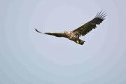 Seeadler, Jungvogel