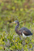 Tricoloured Heron; Blackpoint Wildlife Drive; Merrit Island; Florida