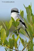 Loggerhead Shrike; Blackpoint Wildlife Drive; Merrit Island; Florida