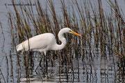 Great Egret; Blackpoint Wildlife Drive; Merrit Island; Florida