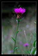 Wiesen- Flockenblume (Centaurea Jacea)