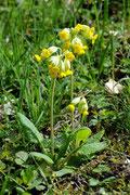 Wiesen- Schlüsselblume (Primula veris)