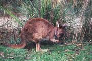 Känguru im ZOO von Melbourne