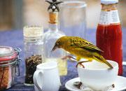 Kap-Webervogel mit Gourmet-Allüren; West Coast - Nationalpark, Südafrika