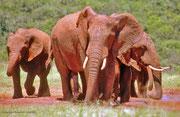 Elefanten nach einem Bad im roten Schlamm; Addo-Elefanten - Nationalpark, Südafrika