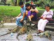 Leguane belagern Einheimische; Guayaquil, Ecuador