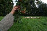 la pâture avec les pommiers à cidre