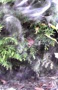 Zwerg...rote Mütze, Spitzbart, schaut aus einem Strauch in meinem Garten