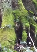 Baum-Elf... grüne Blattmütze, knochiges Gesicht, schaut zwischen den Baumwurzeln hervor