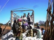 Récolte du Coton Bio 2013 à Pouri (Commune Matéri)