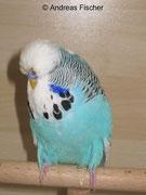 1.0 Australischer Schecke Hellblau DSV 2085-12-095