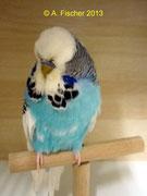 1.0 Australischer Schecke Hellblau AZ 16625-11-015