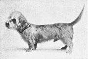 Mr G.F. HEMPSON'S Dandie Dinmont Terrier Astral
