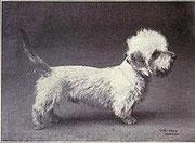 Dandie dinmont Terrier 1915