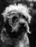 Dandie Dinmont Terrier 1933