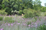 Some lions chilling in the flower field