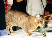 Munchkin-Katze, CFA-Cat-Show, 1995, Madison Square Garden, New York, Amerika, Bild: (c)Birgitta