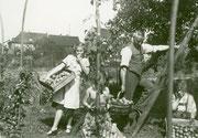 Bei der Obsternte im Garten Bertoldshof 56, im Hintergrund die Südseite der Häuser Düsterstraße Nr. 3 und 5 -  Fotografie 1936