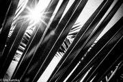 Palmenblätter auf Sardinien, 2016