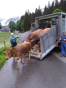 Am 11 Juli gings z`Alp ins Diemtigtal