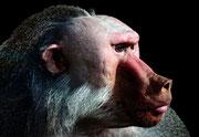 Pavian-Männchen