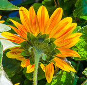 Sonnenblume in orange