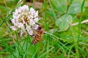 Biene am weißen Klee