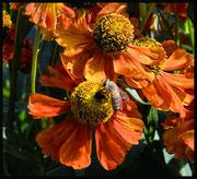 Ich wollt und wär gern eine Biene auf der Sonnenbraut