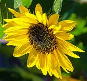 Sonnenblume in unserem Garten