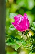 Blüte einer Wildrose