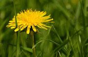 Leuchtend gelb wie die Sonne im Frühling