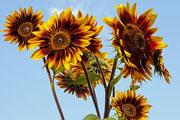 Sonnenblumen, die bis in den Himmel ragen
