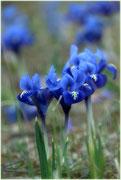 Zarte Irispflänzchen