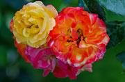 Wunderschönes Farbenspiel dieser Rosen!