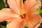 Eine wunderschöne Hibiskusblüte