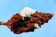Dolde eines Essigbaumes mit einem Schneehäubchen