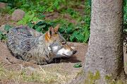 Wolf im Bärenpark bei Schapbach/Schwarzwald
