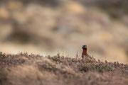 Schottisches Moorschneehuhn ♀
