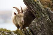 Schottischer Wildziegenbock